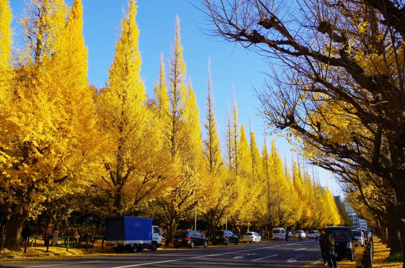 明治神宮外苑 銀杏並木